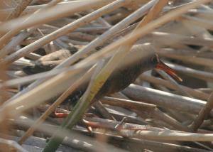 Virginia Rail Skulking in reeds (Photo: Alan Kotin)