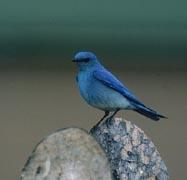 Mountain Bluebird (D. Paulson)
