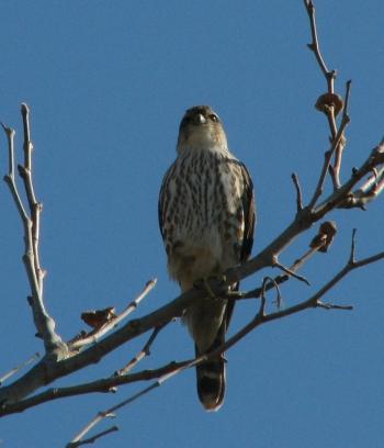 Merlin momentarily resting (L.Johnson, Malibu Lagoon 11/09)