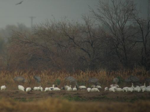 Sandhill Cranes & Geese (L.Johnson 2/10)