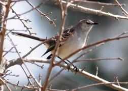 Northern Mockingbird (J.Kenney 3/13/10)