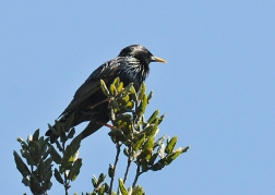 European Starling - noted cavity nester (J.Kenney 3/13/10)
