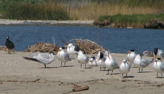 Leftmost Royal Tern begging food (L.Johnson 2/10)