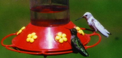 Our famous leucistic Anna's Hummingbird (M.Block)