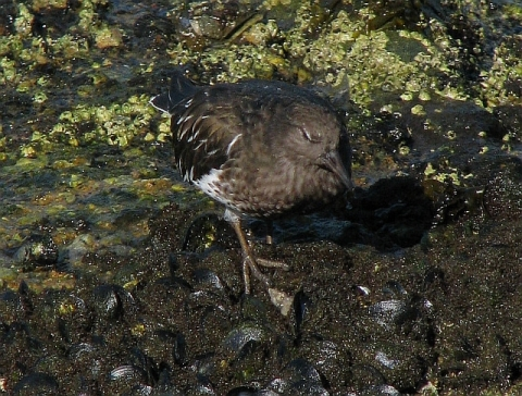Black Turnstone on mussels (C.Almdale)