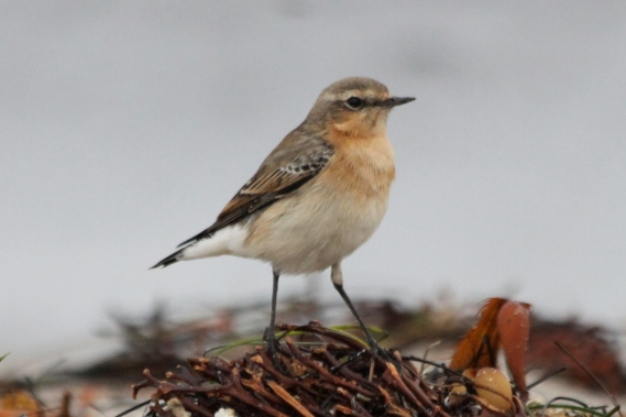 Northern Wheatear likely has the longest migration route of any passerine. The entire population winters in the Sahel and sub-Saharan east Africa. From there, some races migrate NW to and through Europe, England, Iceland, Greenland and into NE Canada. Other races migrate NE to and through Asia, Siberia, Alaska and NW Canada. They have possibly the geographically widest record of vagrancy of any passerine. They have appeared in: Mexico, West Indies, Seychelles, Borneo and Philippines, as well as California and the Gulf Coast. [HBW]