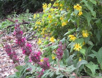 Hummingbird Sage & Canyon Sunflower<br />(J.Garrett 5/11)