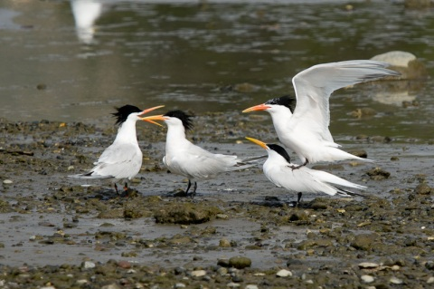 """Elegant, my primaries! He tries that with me, Marge, and he's going to be the least tern you ever saw."" (C.Bragg 2011)"