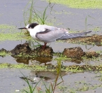 Common Tern Joyce Waterman 9-10-11P9100468