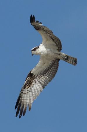 Osprey (C.Bragg)