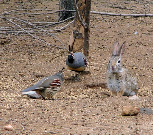 Gambel's Quail & early Easter Bunny (C. Almdale)