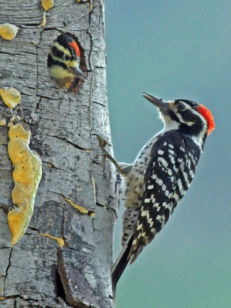 Male Nuttall's Woodpecker at the nesthole - Solstice Canyon (J.Kenney 5/15/11)