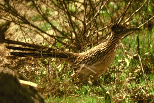 Greater Roadrunner - Geococcyx californianus (G. Commeau)