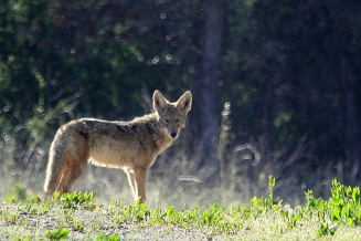 Coyote crossing  (J. Waterman 4/15/12)