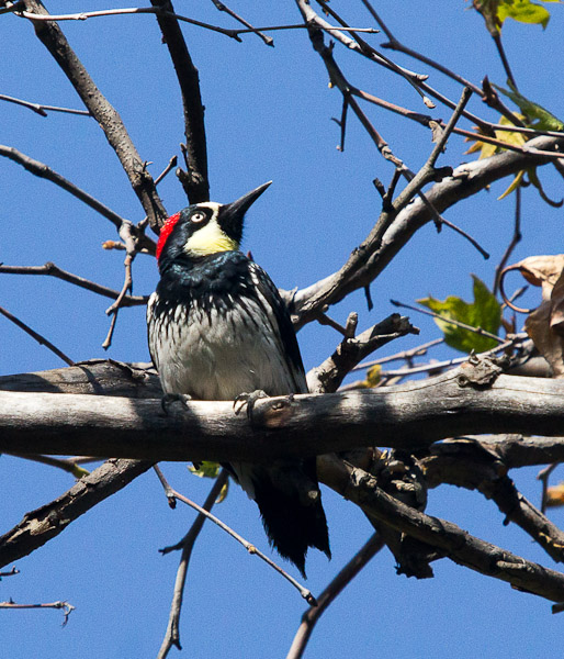 Acorn Woodpeckers were everywhere. Placerita Canyon (C.Bragg 4/7/12)