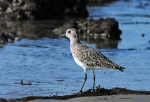 Black-bellied Plover on low tide exposed rocks (J. Kenney 5/27/12)