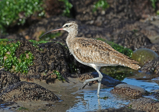 Whimbrel on low tide rocks (J. Kenney 5/27/12)