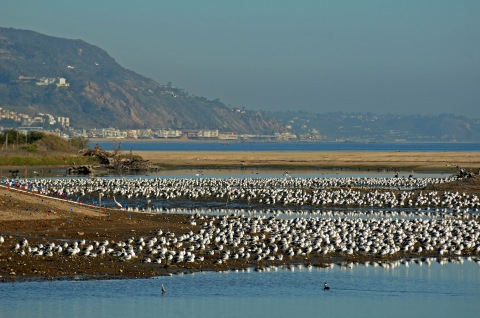 A googolplex of gulls after the breach (J. Kenney 12/10/12)