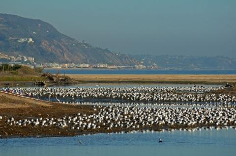 A googolplex of gulls after the breach (J. Kenney 12/10/12)