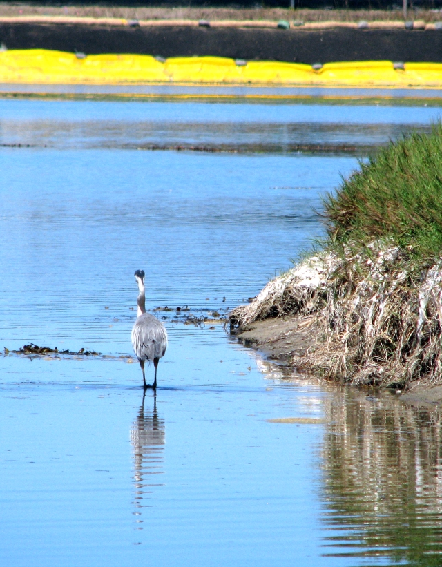 Great Blue Heron patrols lagoon near Adamson House (C.Almdale 6/24/12)