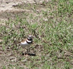 Adamson boat house inlet, now dry, hosts a Killdeer  (C.Almdale 6/24/12)