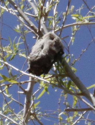 Hoary Bat (R. Seidner 4/27/12)