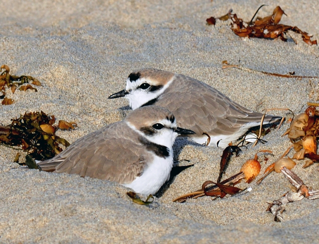 Western Snowy Plover adult pair on Surfrider Beach (J. Kenney 3/26/10)