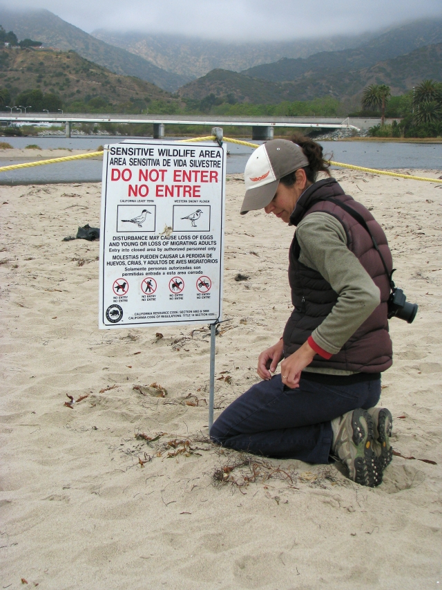 Stacey hangs a plover information sign (C. Almdale 3/15/12)