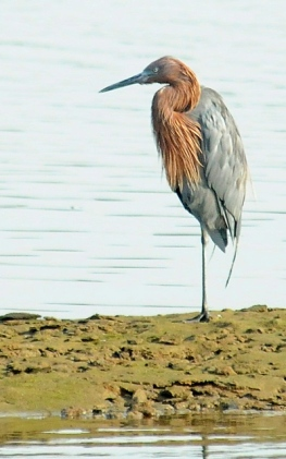 Reddish Egret - Star of the show momentarily motionless (J. Kenney 10/6/12)