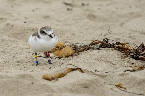 Snowy Plover PV:YB - winter beach resident (C. Bragg 11/25/12)
