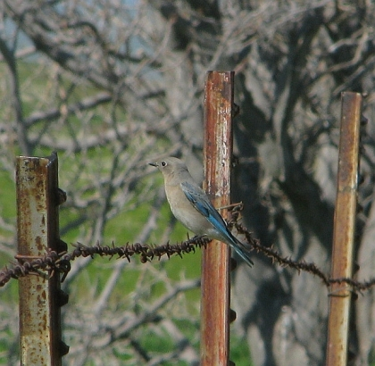 Mountain Bluebird female (L. Johnson)