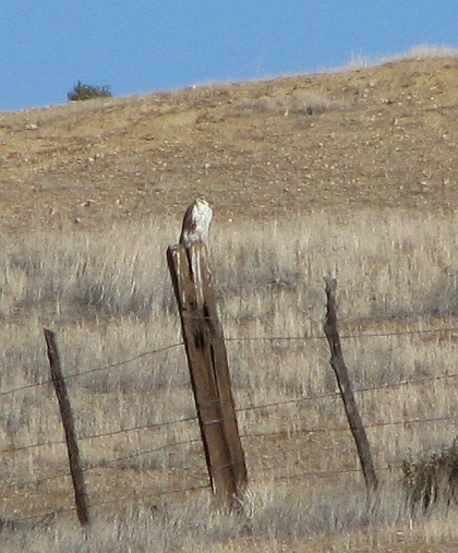Prairie Falcon on fence (L. Johnson 12/8/12)