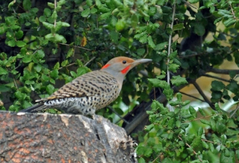 Northern Flicker Red-shafted x Yellow-shafted (J. Kenney 11/26/12)