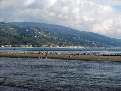 Gulls on low tide exposed beach, Santa Monica Mtns in background(C. Almdale 12/23/12)
