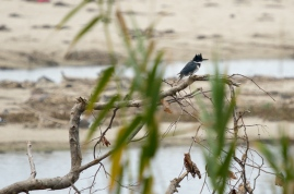 Female Belted Kingfisher (C. Bragg 11/25/12)
