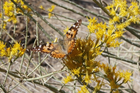 Painted Lady butterfly in the Rabbit Bush blooms (R. Seidner 11 3 12)