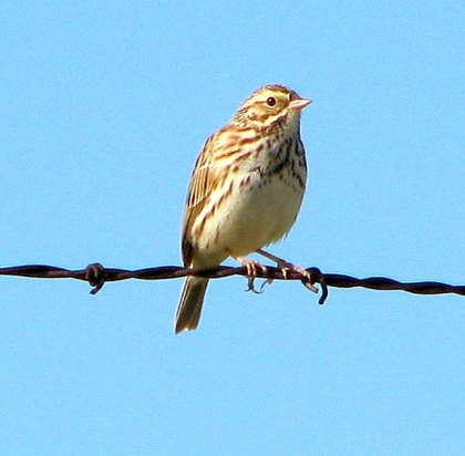 Savannah Sparrow on fence (C. Almdale)