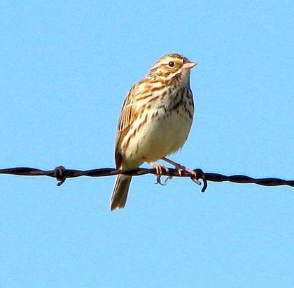 Savannah Sparrow on fence (C. Almdale)