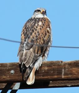 Ferruginous Hawk, Scott Baker