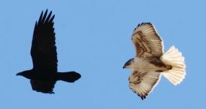 Ferruginous Hawk chasing a Common Raven, Scott Baker