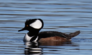 Hooded Merganser, Scott Baker