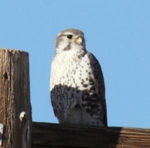 Prairie Falcon, Scott Baker
