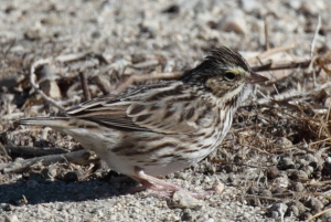 Savannah Sparrow, Scott Baker