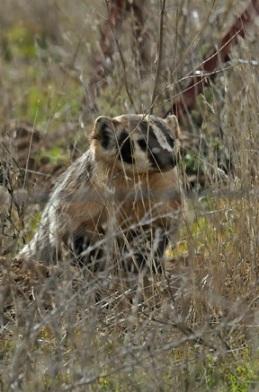 Badger in Carrizo Plains (J. Kenney 1/27/13)