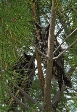 Long-eared Owl in Carrizo Plains (J. Kenney 1/27/13)