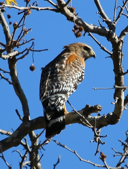 Red-shouldered Hawk in Sycamore Canyon (J. Waterman 3/9/13)