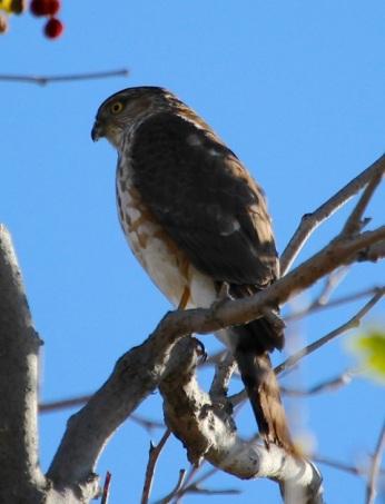 Sharp-shinned Hawk (J. Waterman 3/9/13)