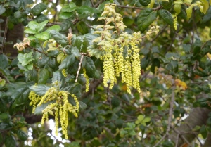 Coast Live oak catkins