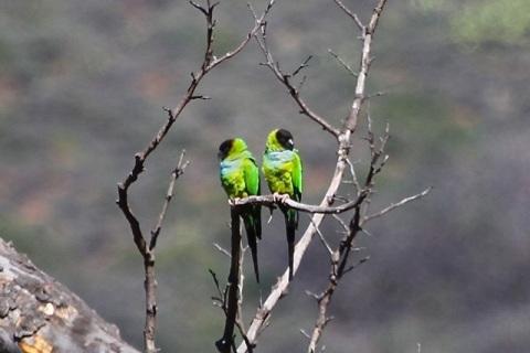 A pair of parakeets (J. Waterman 3/9/13)