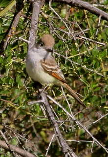Ash-throated Flycatcher (J. Waterman 4/6/13)